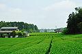 Tea -Iwata.jpg