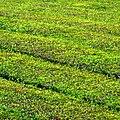 Tea Green (37411718974).jpg