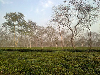 Assam tea - A tea garden of Assam