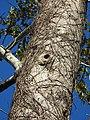 Tetrameles nudifora Bark (2).jpg