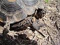 Texas Tortoise Gular Scute Beeville TX June 2011.jpg