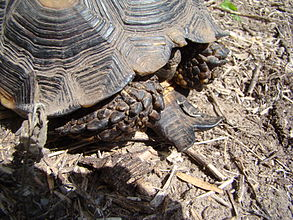Gular projection on a Texas tortoise.