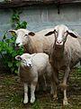 Texel und Merino mit Lamm.JPG