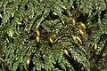 Thamnobryum alopecurum (d, 144924-481522) 0292.JPG