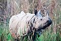 The Greater one-horned rhinoceros at Chitwan National Park (1).jpg
