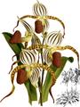 The Orchid Album-01-0029-0008-Cypripedium stonei-crop.png