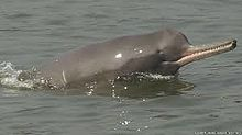 The magnificent Ganges River Dolphin.jpg