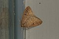Theria primaria (33150704735).jpg