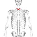 Thoracic vertebra 1 frontal2.png