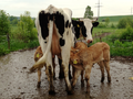 Three Blonde d'Aqutaine calves from embryo transfer suckling at one cow.png
