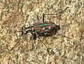 Tiger beetle2.jpg