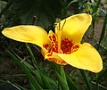 Tigridia pavonia 005.jpg