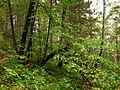 Tilia-nasczokinii-IMG 9283 m.jpg