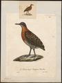 Tinamus undulatus - 1825-1834 - Print - Iconographia Zoologica - Special Collections University of Amsterdam - UBA01 IZ18900227.tif