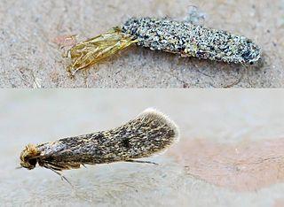 <i>Tinea pellionella</i> species of insect