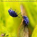 Tiny coleoptera in pseuderanthemum reticulatum.jpg