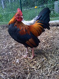 Tom the Bantam Rooster.jpg