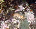 Tonicella lineata in tide pool.jpg