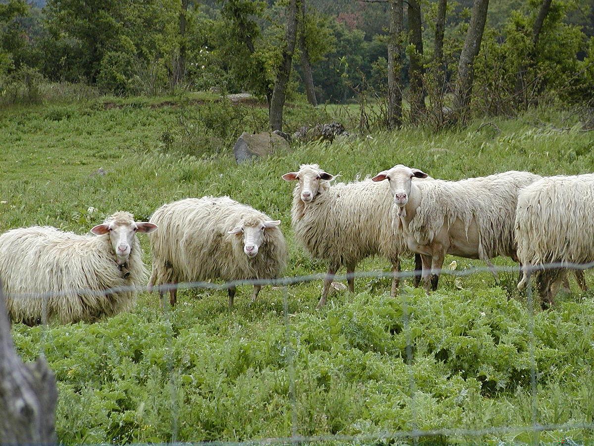 Фото секса с овцами