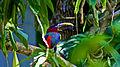 Toucan in Iguazu.jpg