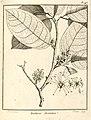 Touchiroa aromatica Aublet 1775 pl 148.jpg