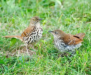 Brown thrasher - An adult with a juvenile in Virginia, USA