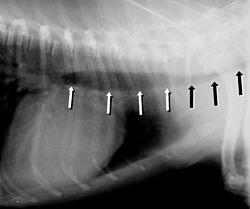 Trachealkollaps Des Hundes Wikipedia