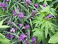 Tradescantia Concorde Grape - Flickr - peganum.jpg