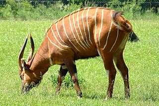 Bongo (antelope) species of herbivorous, mostly nocturnal forest ungulate