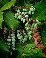 Tree Beans (5554782634).jpg