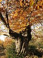 Tree with autumn leaves at Burnham Beeches, Buckinghamshire 02.jpg