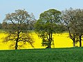 Trees and oilseed rape near Cobham Frith - geograph.org.uk - 1265306.jpg