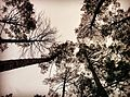 Trees high up into the sky.jpg