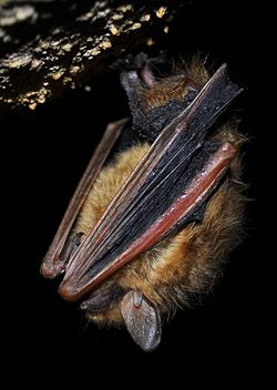 Tri-colored bat in torpor.JPG