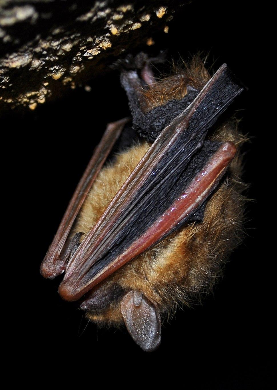 Tri-colored bat in torpor