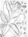 Trichilia affinis Govindoo.jpg