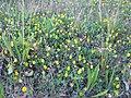 Trifolium campestre habit3 (10620982335).jpg