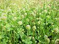 Trifolium microcephalum.jpg