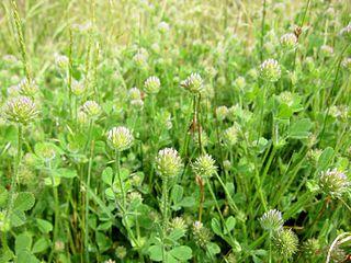 <i>Trifolium microcephalum</i> Species of legume