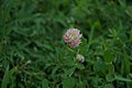 Trifolium repens in the garden of the Saint-Chiristophe Church 01.jpg