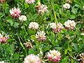 Trifolium thalii Canillo Andorra.JPG