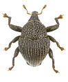 Trigonopterus edaphus holotype - ZooKeys-280-001-g027.jpg