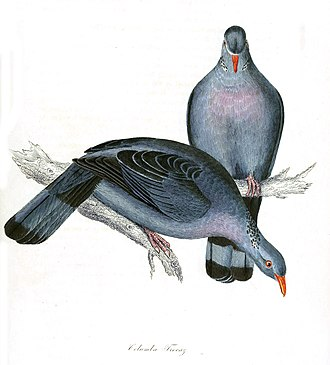Trocaz pigeon - Old illustration based on a specimen obtained by Mr Carruthers of Madeira in 1827