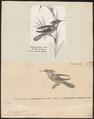 Trochilus chalybeus - 1700-1880 - Print - Iconographia Zoologica - Special Collections University of Amsterdam - UBA01 IZ19100445.tif