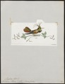 Trochilus helenae - 1820-1860 - Print - Iconographia Zoologica - Special Collections University of Amsterdam - UBA01 IZ19100437.tif