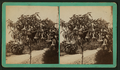 Trumpet Tree, Los Angles, California, from Robert N. Dennis collection of stereoscopic views.png