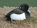 Tufted Duck SMTC.jpg
