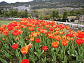 Tulip (105).JPG