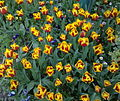 Tulips and violets in Iran.jpg