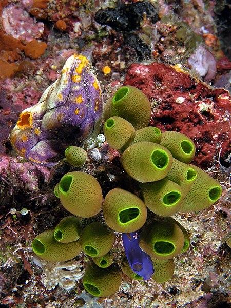 File:Tunicate medley komodo.jpg